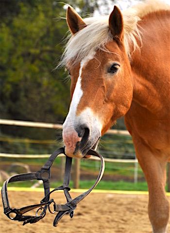 Das Schnappen beim Pferd