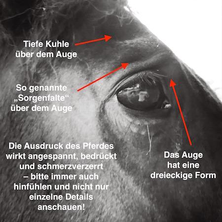 Schmerzgesicht beim Pferd