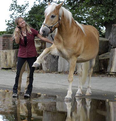 Pferde und Pfützen
